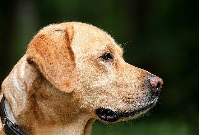 dog 1194083 640 - Pets também podem sofrer com problemas de tireóide