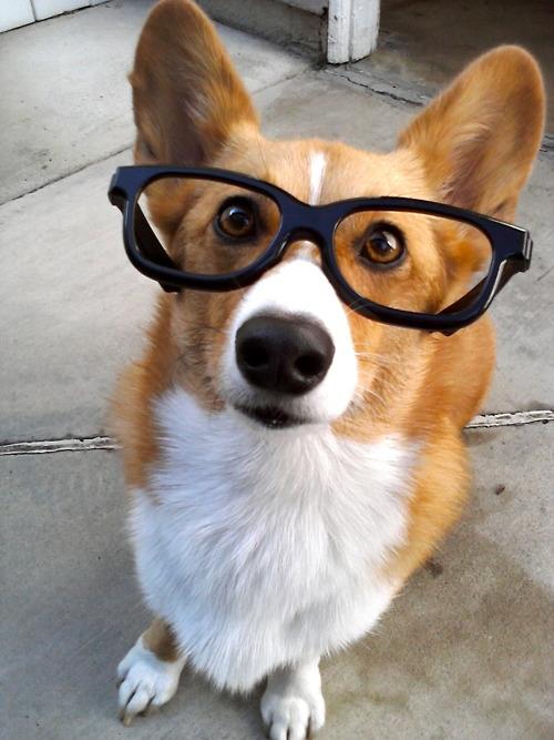 dogwithglasses 6 - A visão dos Cães