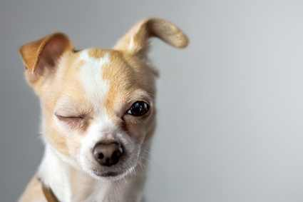 olho de cachorro - Será que seu cão ou gato tem Catarata?