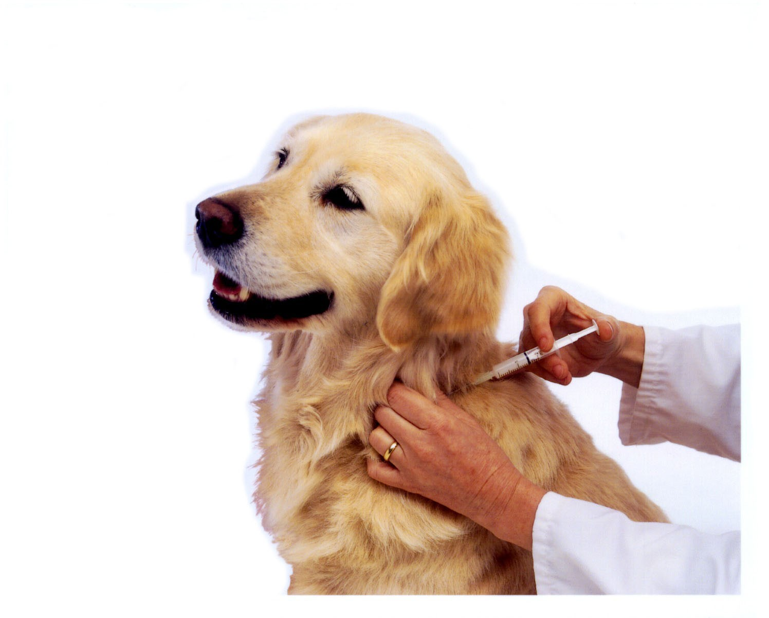 dog being vaccinated - Mês de Agosto. Mês da Vacinação Anti-rábica Saiba tudo sobre este assunto