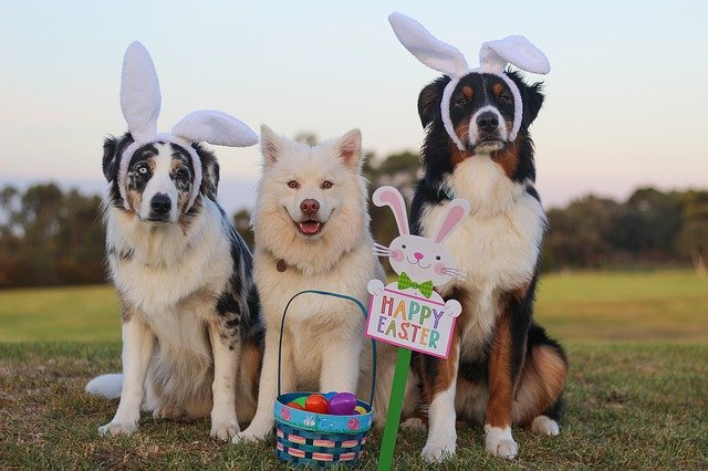 australian shepherd 2208371 640 - PERIGO na Páscoa: CHOCOLATE Pode Intoxicar Seu Cão...