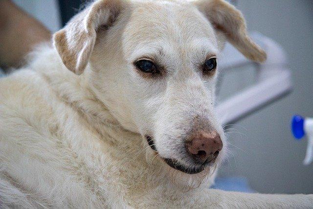 dog 4940471 640 - Cachorro Tossindo Muito