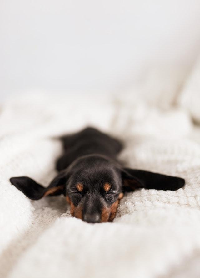 pexels dominika roseclay 4148015 1 - Tosse Infecciosa em Cães: Bordetella