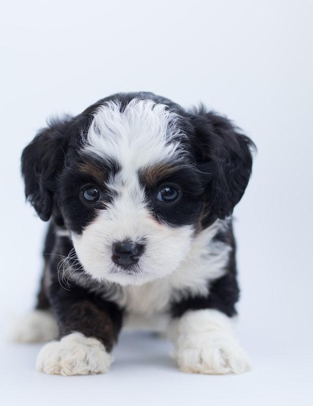 pexels poodles doodles 1458916 - Cuidados com Filhotes de Cães Recém-Nascidos