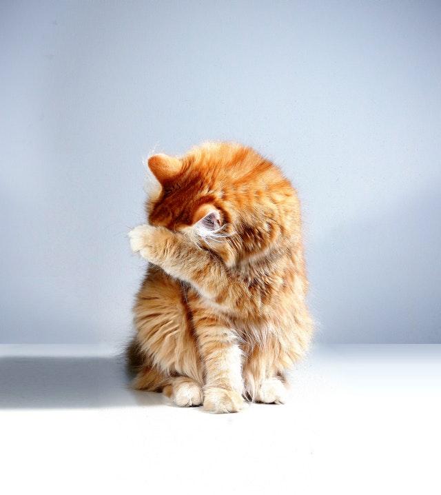 pexels matthias oben 3687957 - Gato que se Lambe Demais, Ficando sem Pelo, Pode Não Ser Normal