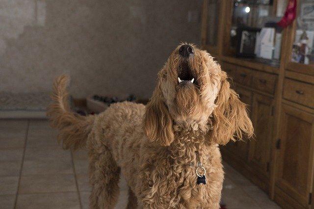 doodle barking 2965983 640 - Seu Cão Late Demais? Você Sabe Por Que?