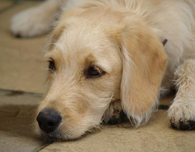 745622793 258f33d7ae o thumb6 - Meu Cão Está Anêmico, Por Quê?