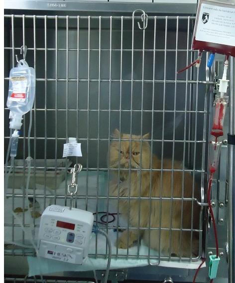 gato anemia - Reações em Transfusão de Sangue em Gatos