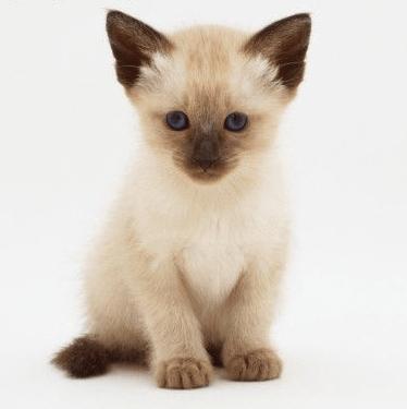 siamesfilhote - Você Sabe o Tipo Sanguíneo do Seu Gato?