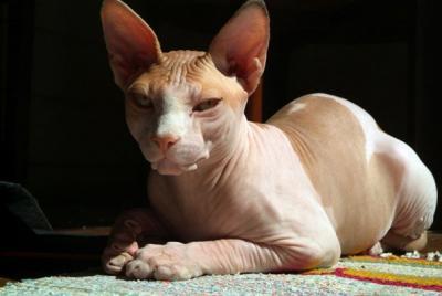 sphynx 2 - Sphynx, Um Gato Realmente Diferente