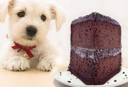 cachorro e chocolate - SE O MEU CACHORRO COMER CHOCOLATE, O QUE DEVO FAZER??