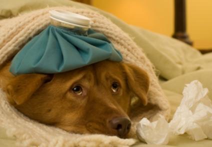 154956 424x294 sick doggie2 - TEMPO SECO TAMBÉM PREJUDICA OS PETS