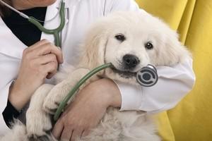 a primeira consulta do meu filhote ao veterinario articleactu - Como é a Primeira Consulta de Filhote no Pet Care?