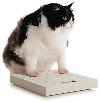 guia1 - Obesidade Felina: Gato Gordo!