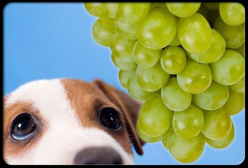 s6 dog avoid grapes - INTOXICAÇÃO EM CÃES POR UVA E UVA PASSA
