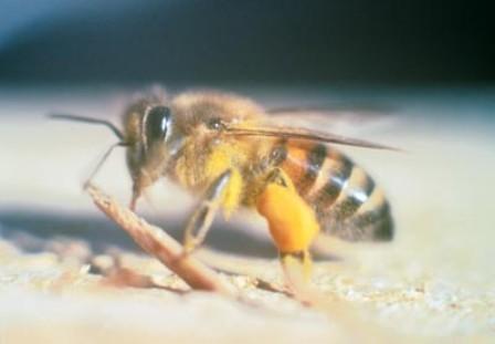 20110909 609 abelhalarsinio - Ataque de abelhas africanas em cães: o que fazer?
