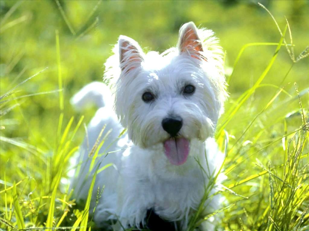 west highland white terrier 1 - Especialista em West Highland White Terrier