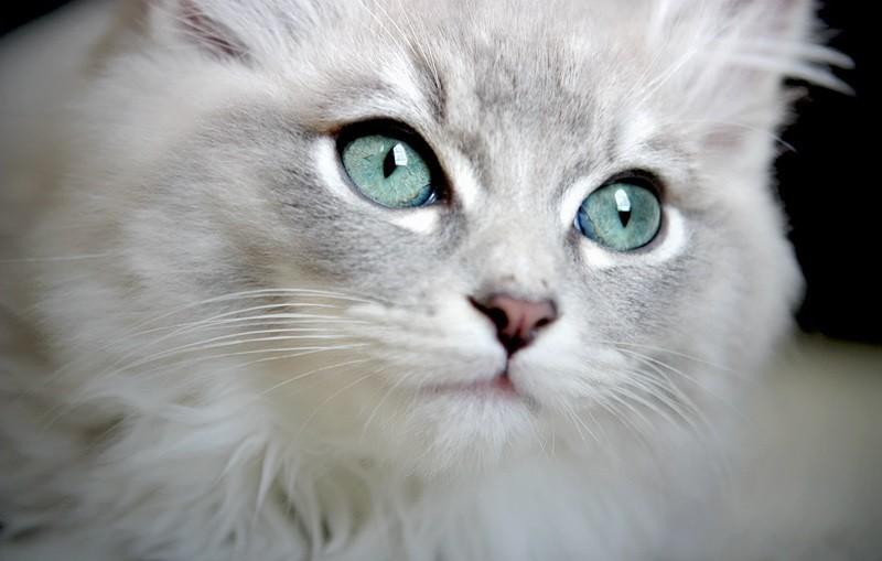 gato ragdoll - Especialista em Ragdoll