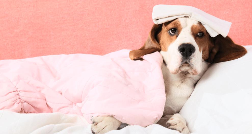 cuidados com os cachorros no inverno 1 1 - Seu cachorro está com frio ou com dor???