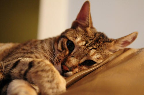 gripe de gato 3 - Meu gato está gripado?