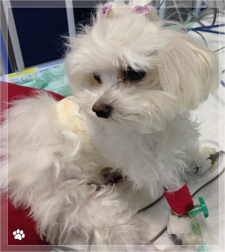 pet care - PDA (Persistência do Ducto Arterioso) em Cães e Gatos