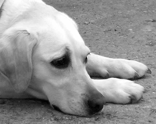 triste - Tumor de baço em cães - hemorragia interna
