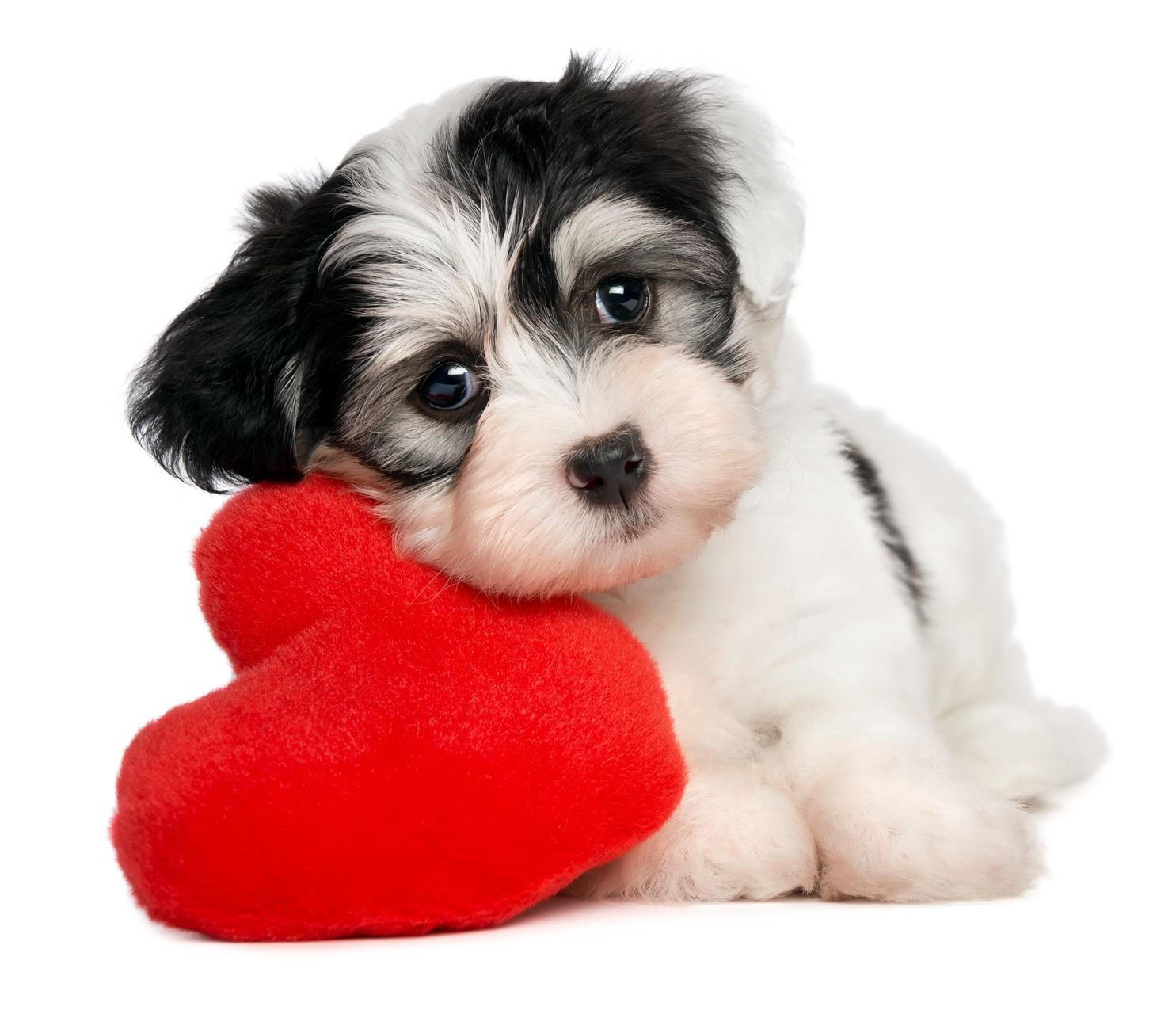 welpe mit herz 2 - Quais os primeiros cuidados que devo ter com meu filhote de cão?