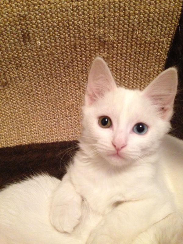 gatinha surda - Surdez em gatos brancos