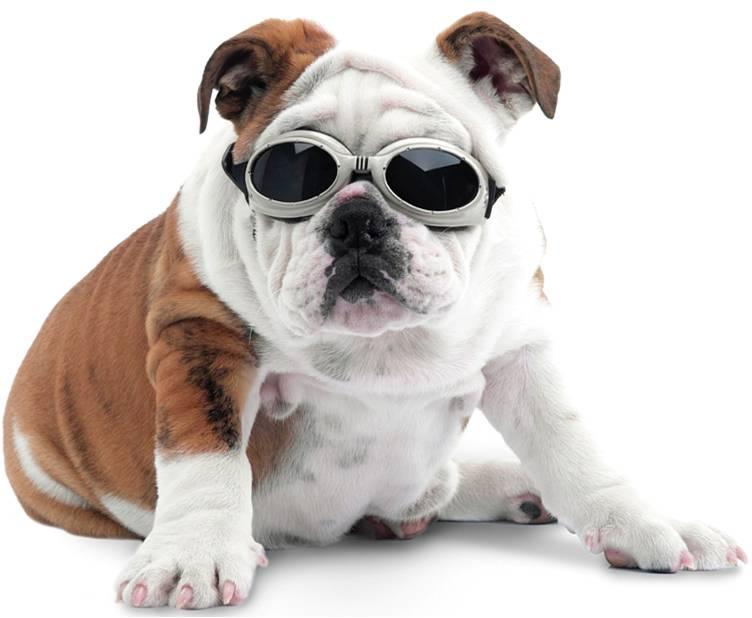 laser bulldog - CEGUEIRA EM CÃES: COMO PREVENIR A DOENÇA E TRATAR SEU PET