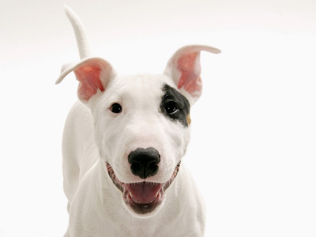 "the best top desktop dog wallpapers 58 hd dog wallpaper picture image - ""Bolinha"" na pele do meu pet"