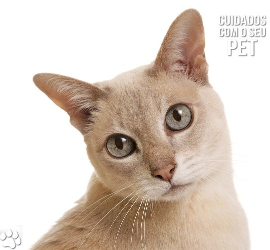 424365 kot koshka belyj fon 1680x1050 www.gdefon.ru  - Problemas urinários em gatos