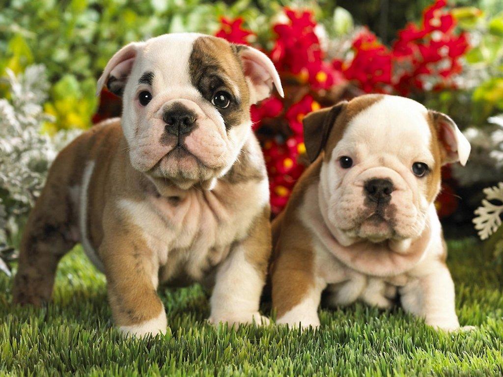 filhotes cachorro bulldog ingles - O que fazer com as Fezes de nossos Animais