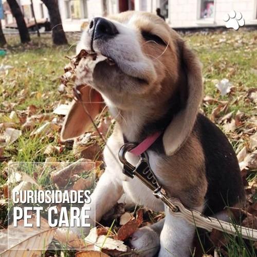 saiba mais sobre a raca beagle - Saiba mais sobre a raça Beagle