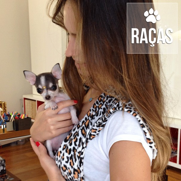 racas - Chihuahua: Uma raça maravilhosa