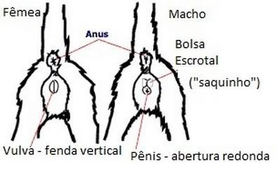 Diferenciando o sexo dos filhotes recém-nascidos 02