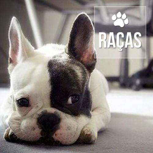 racas 1 - Especialista em Bulldog Francês