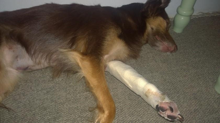Fratura exposta e lesões nas patas dianteiras 02