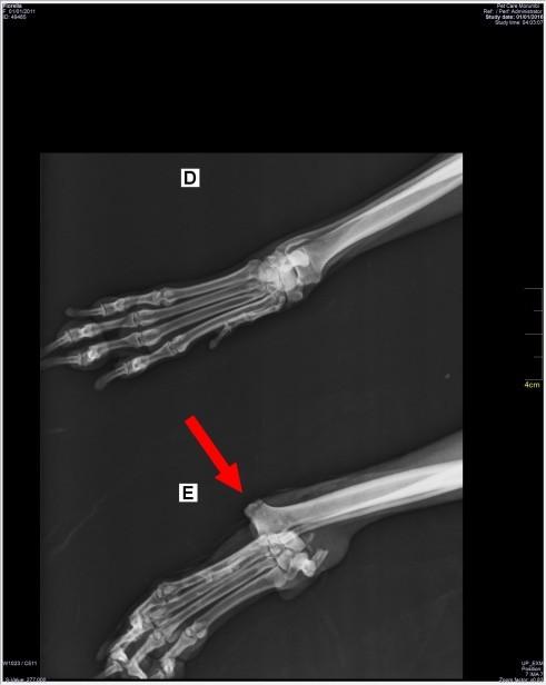 Fratura exposta e lesões nas patas dianteiras 03