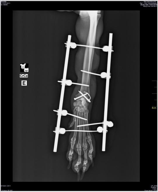 Fratura exposta e lesões nas patas dianteiras 05