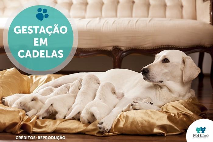 gestacao em cadelas - Gestação em cadelas