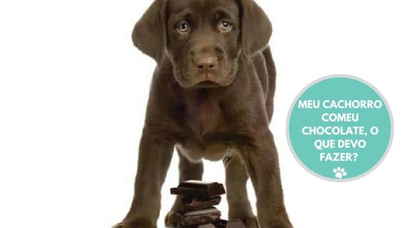 meu cachorro comeu chocolate o que devo fazer  - MEU CACHORRO COMEU CHOCOLATE, O QUE FAZER?