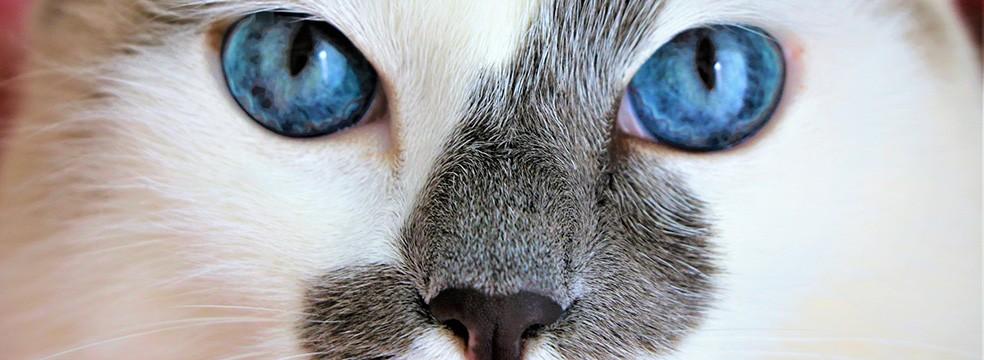 medicina felina - Medicina Felina