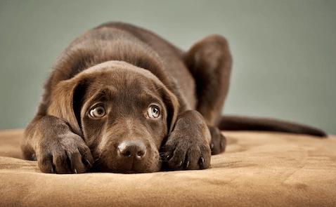 cachorro com medo de fogos - Como acalmar cachorro com medo de fogos
