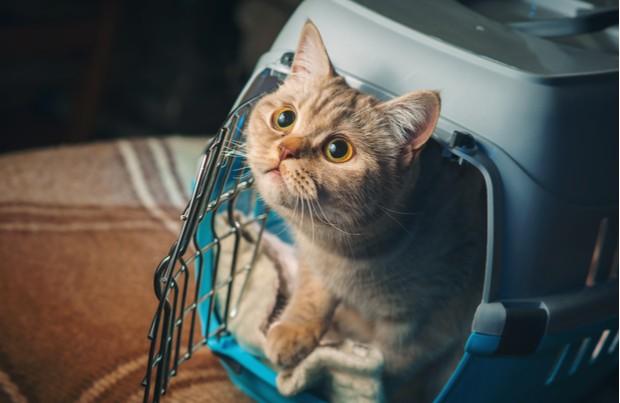 viajar com gato 1 - Viajar com Gatos - Dicas