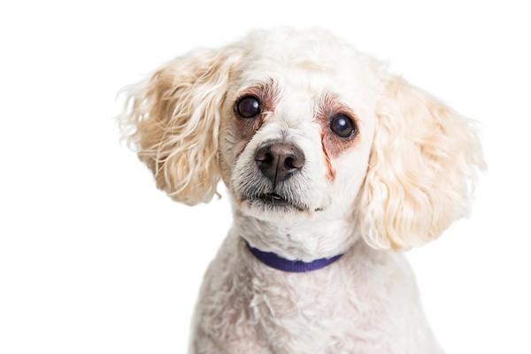 machas escuras ao redor dos olhos - Cachorro com manchas escuras ao redor dos olhos