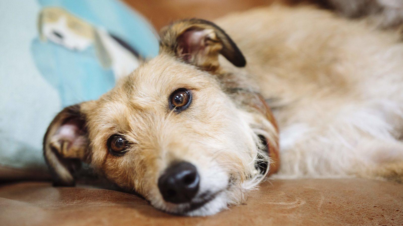 dog sick - Doença do carrapato