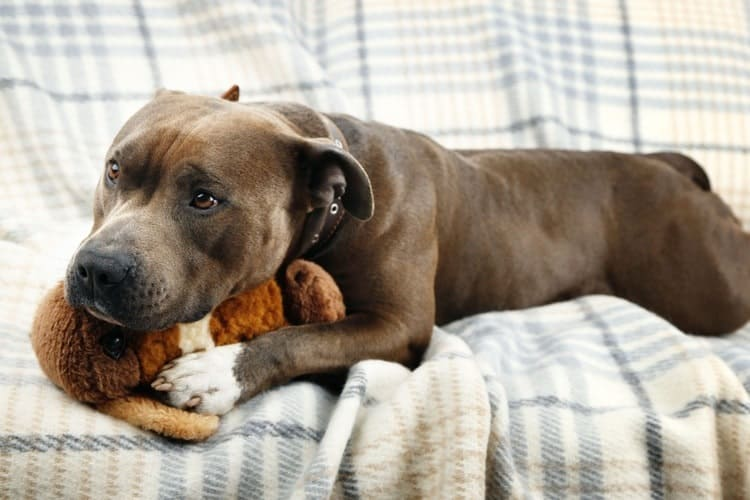 sintomas de gravidez psicologica em cadelas - Gravidez psicológica em cadelas e gatas ou Pseudociese