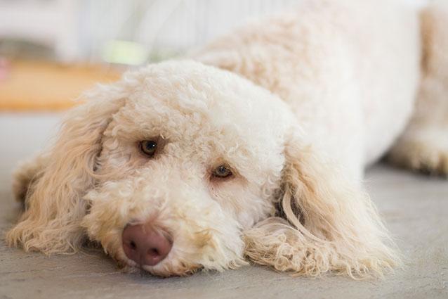 when to feed sick dogs - Quais os sintomas de um aborto em cadelas?