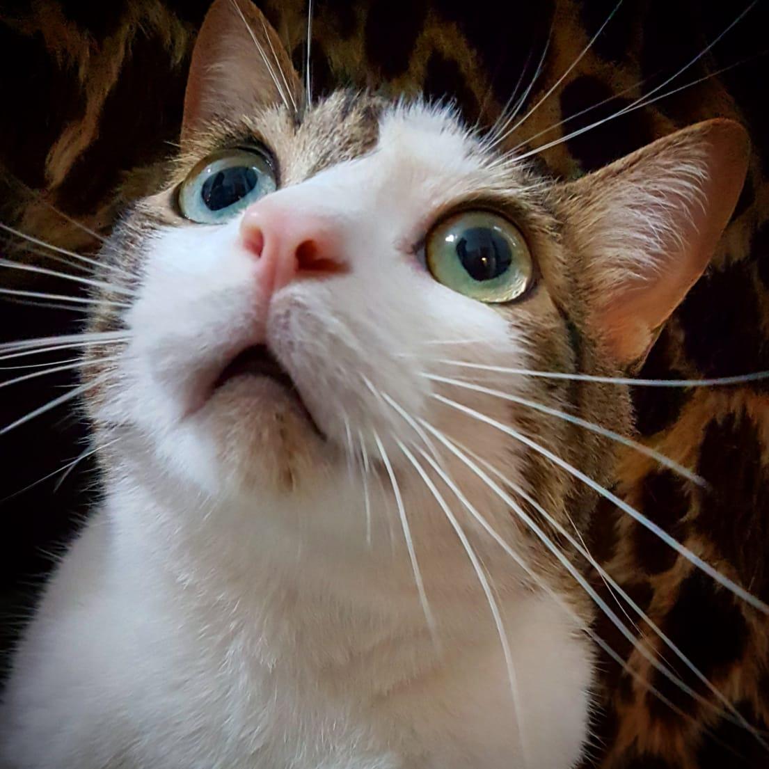 rinotraqueite - Rinotraqueíte : uma doença respiratória felina ou gripe felina