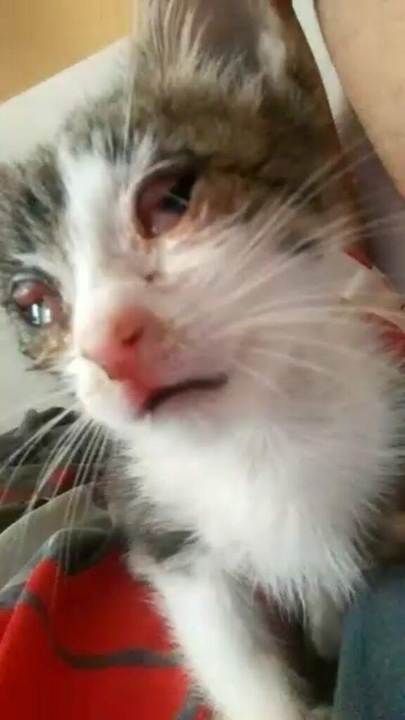 rinotraqueite 01 576x1024 - Rinotraqueíte : uma doença respiratória felina ou gripe felina